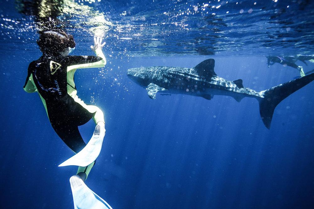 与鯨鯊共游 - 西澳大利亚 -