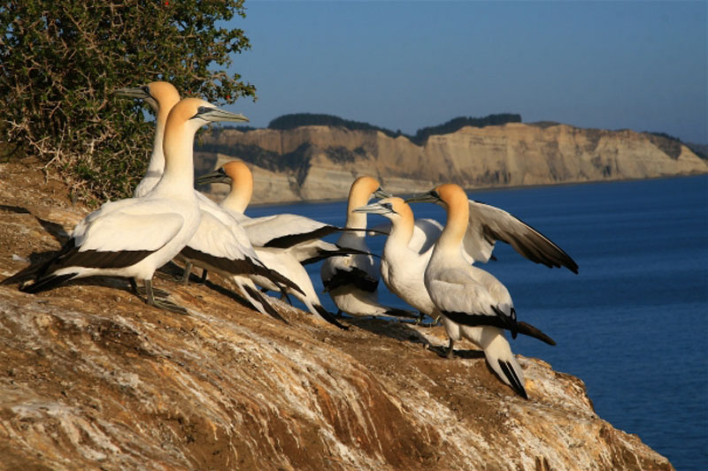 Gannet-colony-at-Cape-Kidnappers.jpg
