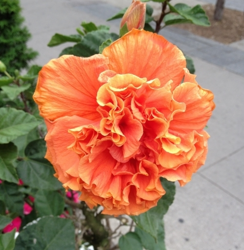 Seriously... look at this double hibiscus, in a colour I can only describe as electric tangerine. Come on! It's incredible. Gush, gush, gush. We may be nearly into November, but seeing this makes me feel like the summer sun is still on my shoulders.