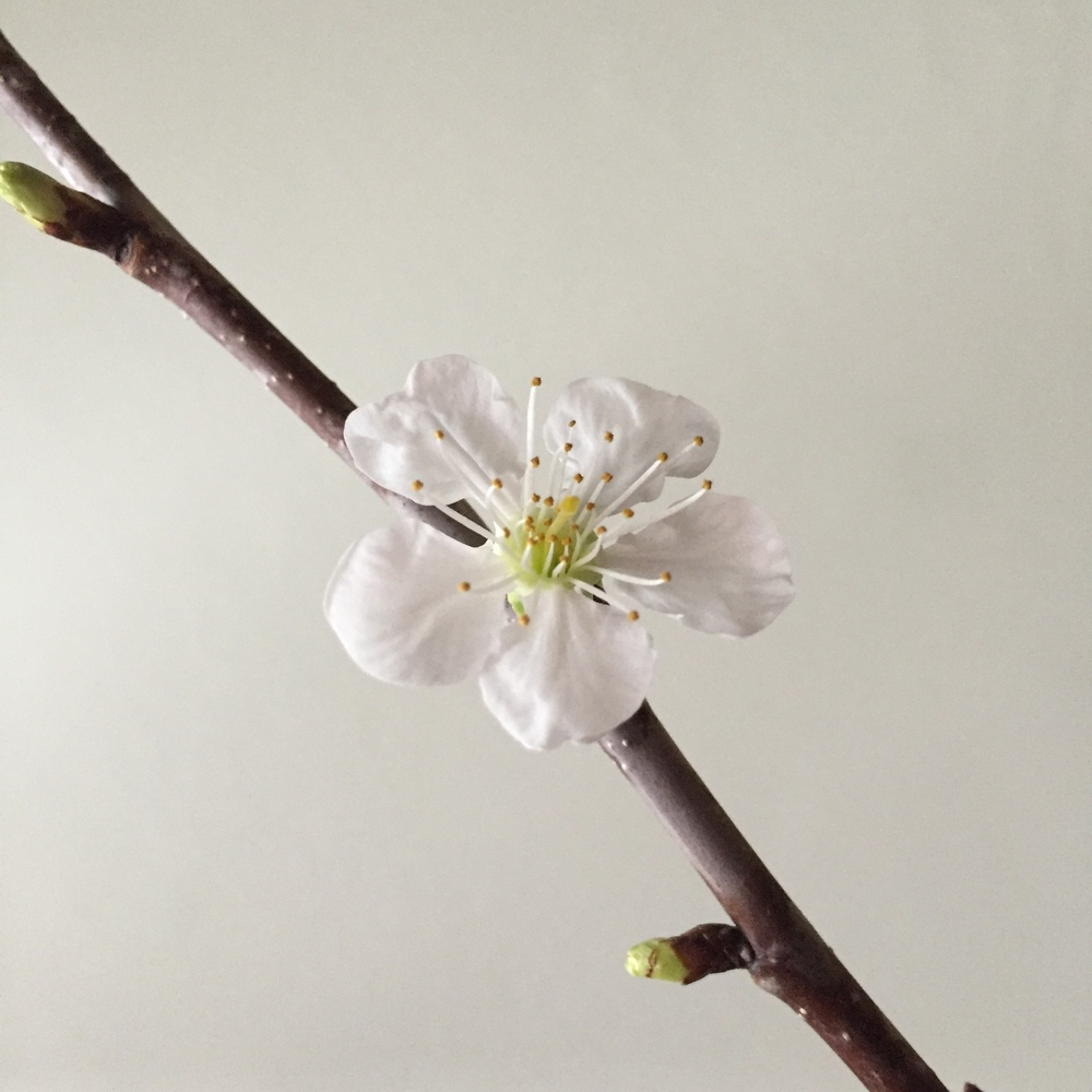 single cherry blossom bloom | Quill+Oak Floral Design Toronto