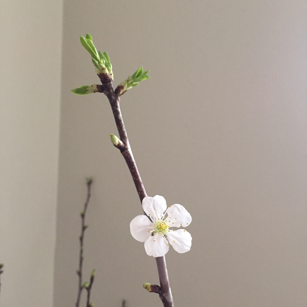 blooming cherry branch | Quill+Oak Floral Design Toronto