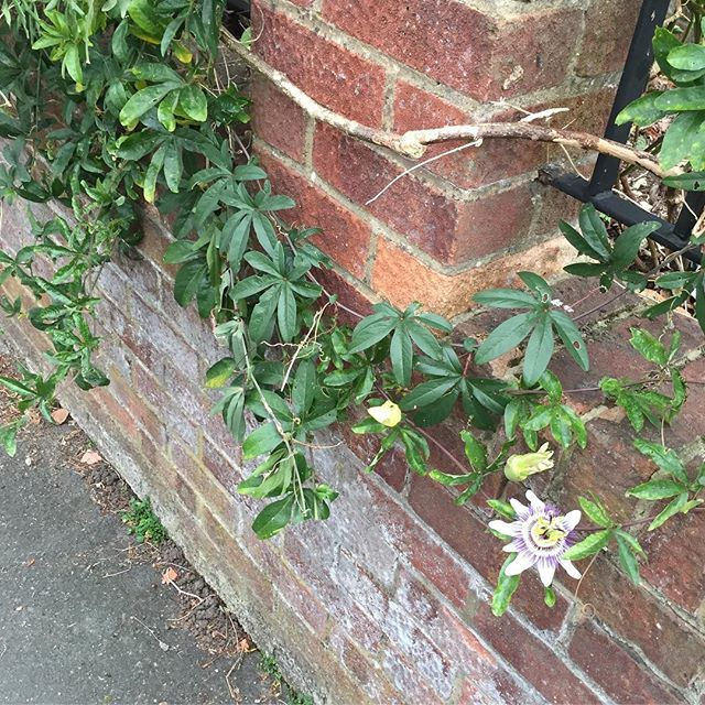 That's right, people, that is a passion flower vine growing in a front garden. Wtf. I want to move here.