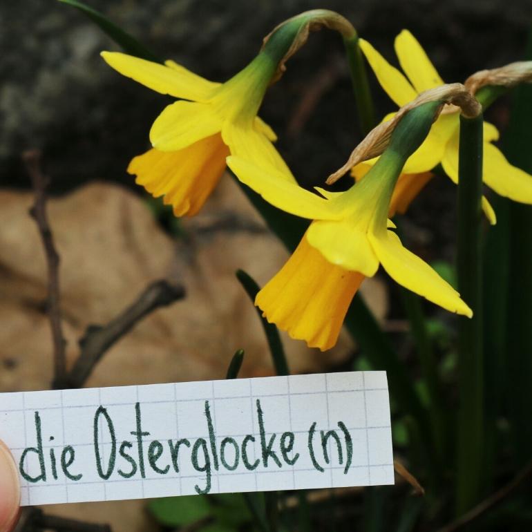 die Osterglocke - daffodil
