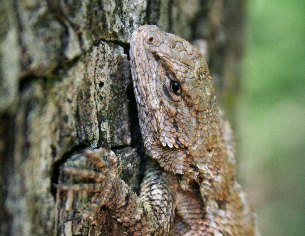 Fence lizard ( Sceloporus undulatus )