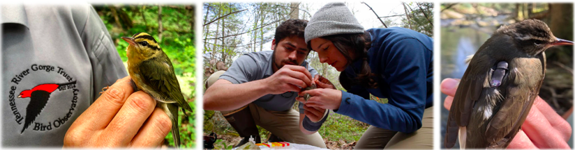 From left to right: Worm-eating Warbler, Eliot Berz and Holland Youngman attaching a geolocator on a Louisiana Waterthrush, and a Louisiana Waterthrush wearing a geolocator.
