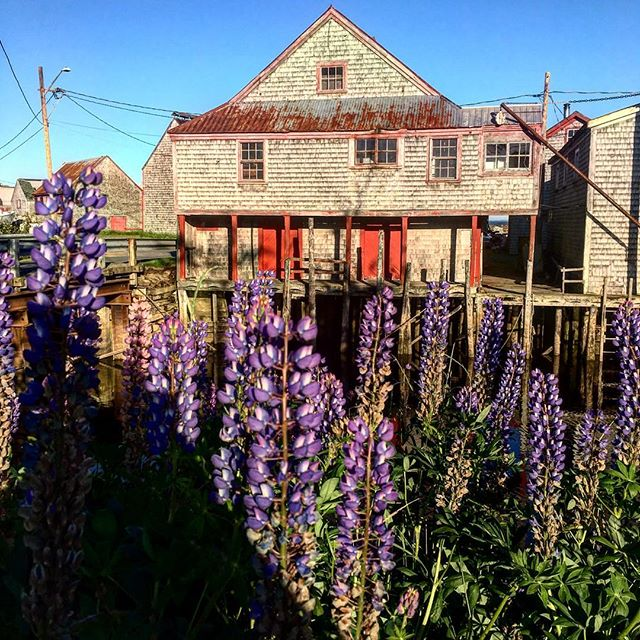 Seal Cove is both a relic and treasure filled with wharves from an era of smoked herring production dating back to the 1870s. Today stacks of lobster traps are as frequent as the beautiful lupines that cover the island. #sealcove #fishing #atlanticocean #grandmanan #canada #history #preservation #liveauthentic #pictureoftheday #lupine #wharf #newbrunswick #bayoffundy