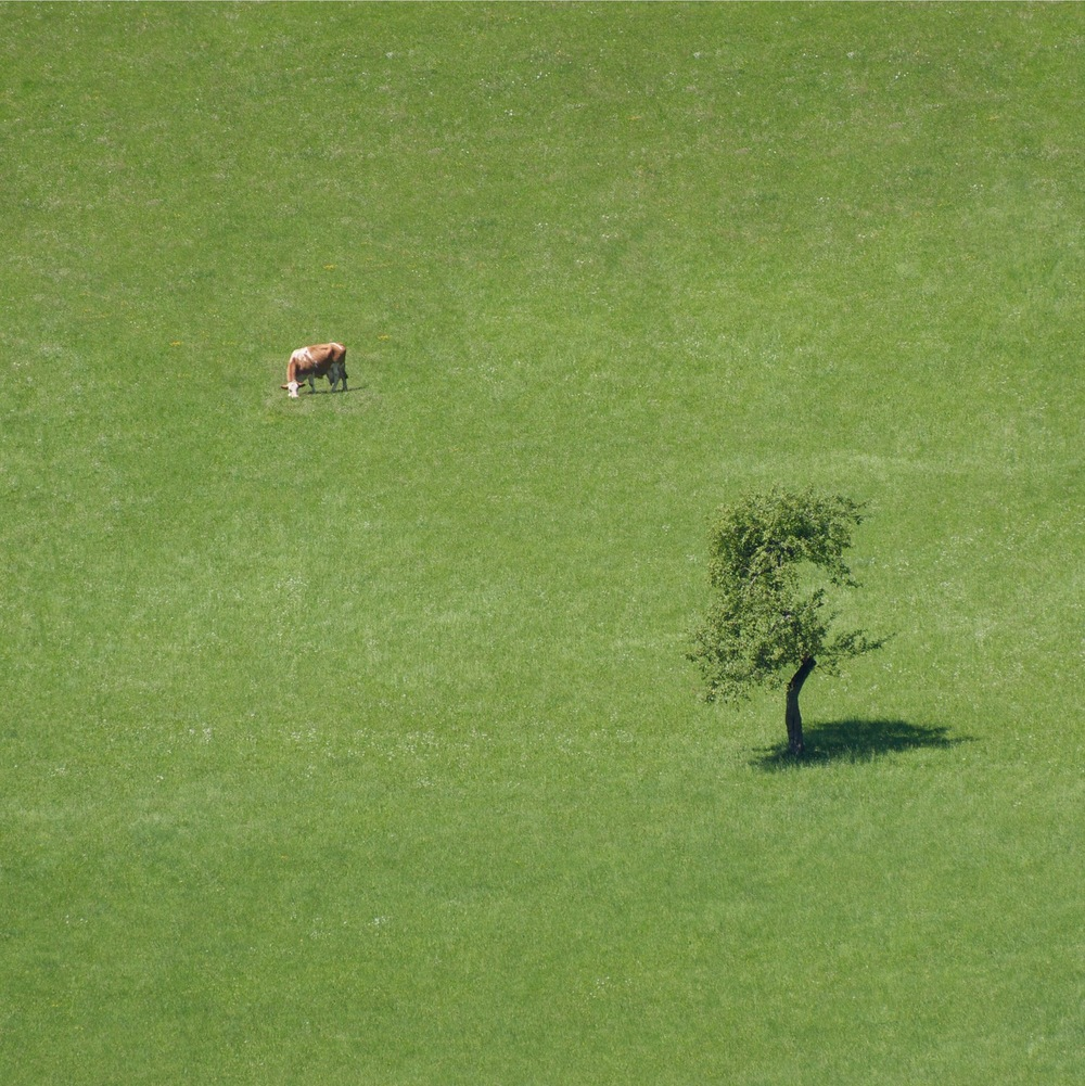 A Cow. And a Tree; (cc) by-nc squics.com