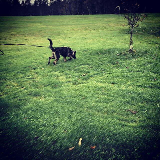 Wuan Ton tracking on alternating ground surfaces...nails the end with her find! 🐾❤️ #mainedogs #k9 #tracking #germanshepherdpuppy #gsd #lptd #wetrainintherain #letsgetit