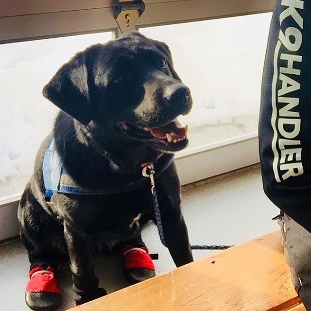 The beautiful lady in red boots, Bella ❤️ #bella #k9 #labrador #tracking #labradorretriever #scentspecifick9 #decompositionk9 #blacknose #redboots #workinggirl