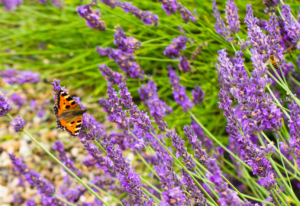 Butterfly at Yorkshire Lavender, UK