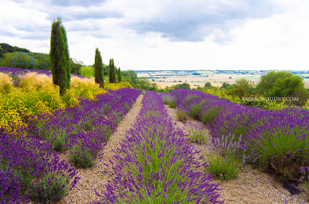 Yorkshire Lavender, UK