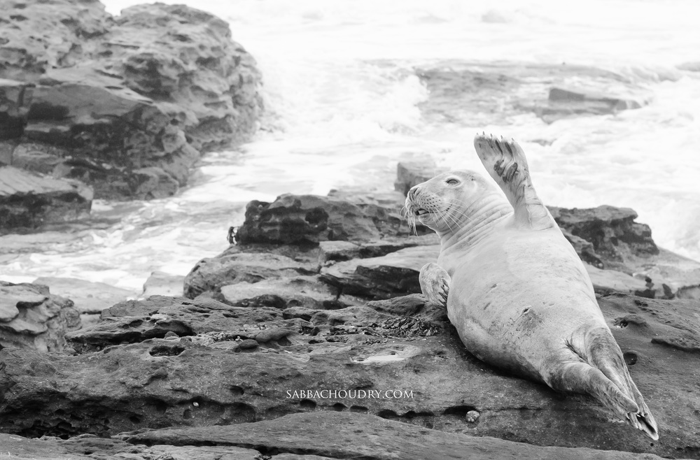 Seal around St Mary's Island, North Tyneside, UK