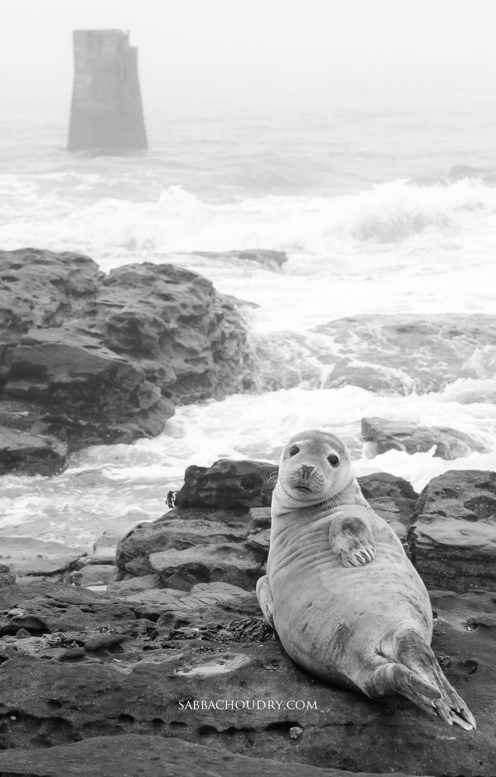 Seal at St Mary's Island, North Tyneside, UK