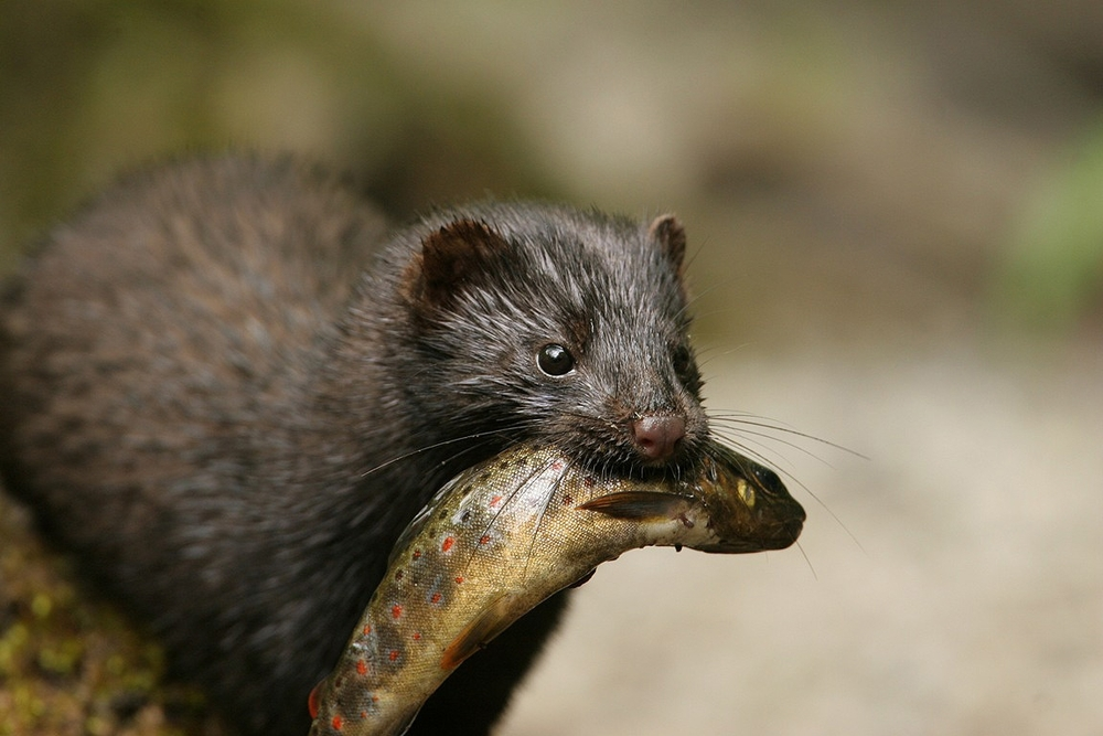 mink-with-fish.jpg