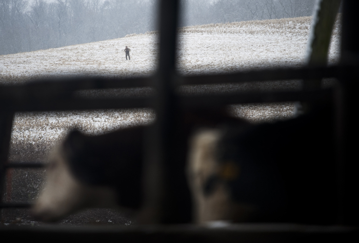 "Alquin Heinnickel, a Hempfield farmer who has been raising cattle for about 45 years, pauses while working on his farm on Wednesday, Nov. 26, 2014. Heinnickel said the federal data may be undercounting the number of farm injuries because often times farmers are injured on the job but ""you don't hear much about it."""