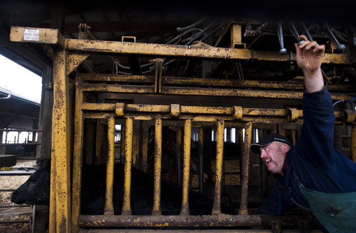 "Alquin Heinnickel III, a veterinarian and the son of Hempfield farmer Alquin Heinnickel who has been raising cattle for about 45 years, castrates a bull in a cattle chute on Wednesday, Nov. 26, 2014. Heinnickel said the federal data may be undercounting the number of farm injuries because often times farmers are injured on the job but ""you don't hear much about it."""