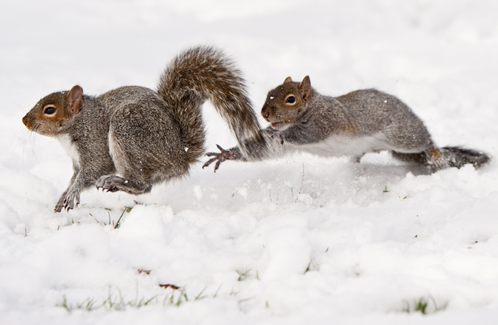 One Eastern Gray Squirrel chases another as they search for food in the snow on Saturday, Jan. 4, 2014 at Legion-Keener Park in Latrobe.