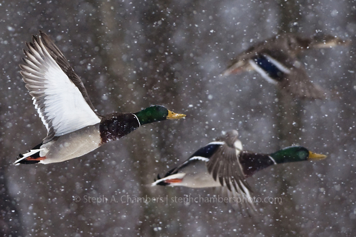 A flock of Mallard ducks soar through the heavy snowfall on Saturday, Feb. 21, 2015 in Greensburg.