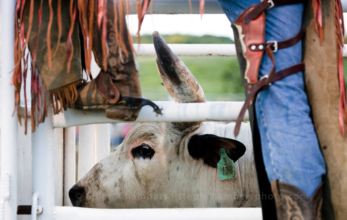 A bull is prepared in a chute before the rodeo during the Bullskin Township Community Fair on Wednesday, Aug. 19, 2015 in Wooddale.
