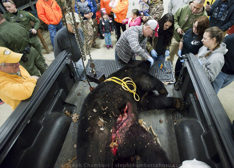 Lee McClinton, a Fayette game lands maintenance worker from Uniontown, checks in a 460-pound black bear shot by Larry Knepper of Richland township at the Pennsylvania Game Commission Southwest Region Office on Saturday, Nov. 21, 2015, in Bolivar.