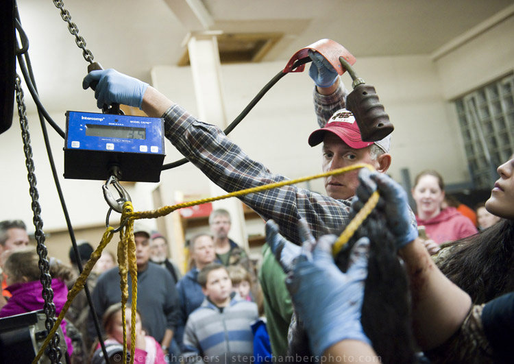 Lee McClinton, a Fayette game lands maintenance worker from Uniontown, weighs a black bear at the Pennsylvania Game Commission Southwest Region Office on Saturday, Nov. 21, 2015, in Bolivar.