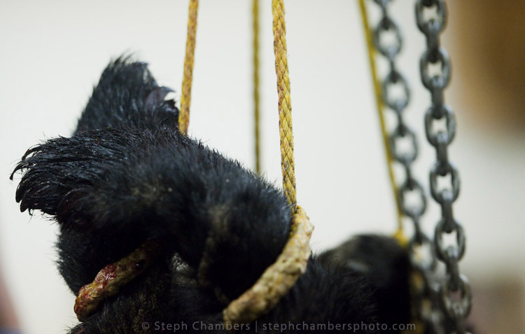 A black bear is weighed at the Pennsylvania Game Commission Southwest Region Office on Saturday, Nov. 21, 2015, in Bolivar.