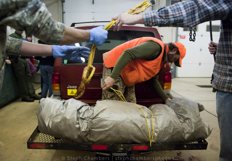 Jesse Shaw of Jeannette unwraps his 212-pound female black bear he shot in Armstrong County at the Pennsylvania Game Commission Southwest Region Office on Saturday, Nov. 21, 2015, in Bolivar.