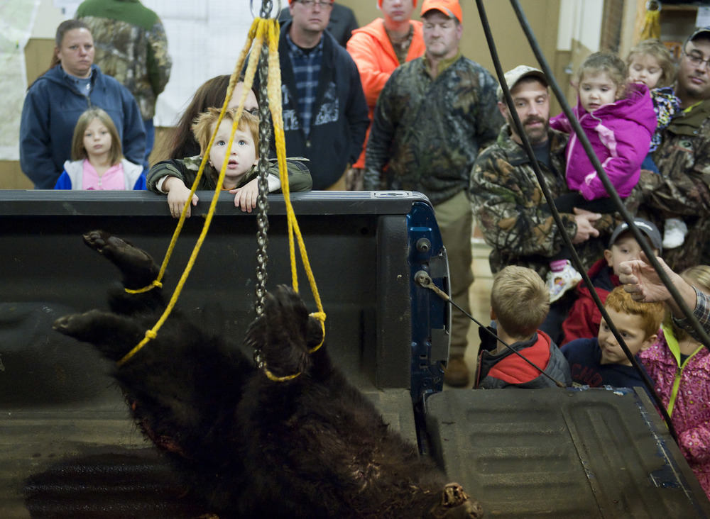 People watch as a 57-pound bear is weighed at the Pennsylvania Game Commission Southwest Region Office on Saturday, Nov. 21, 2015, in Bolivar.