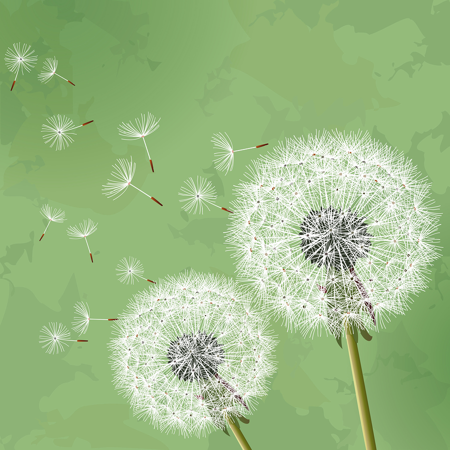 Taraxacum officinale | Dandelion Seeds