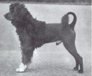 """Champion """"Leao"""" 1931-1942   """"Leao"""" är modellen för den Portugisiska vattenhundens standard"""