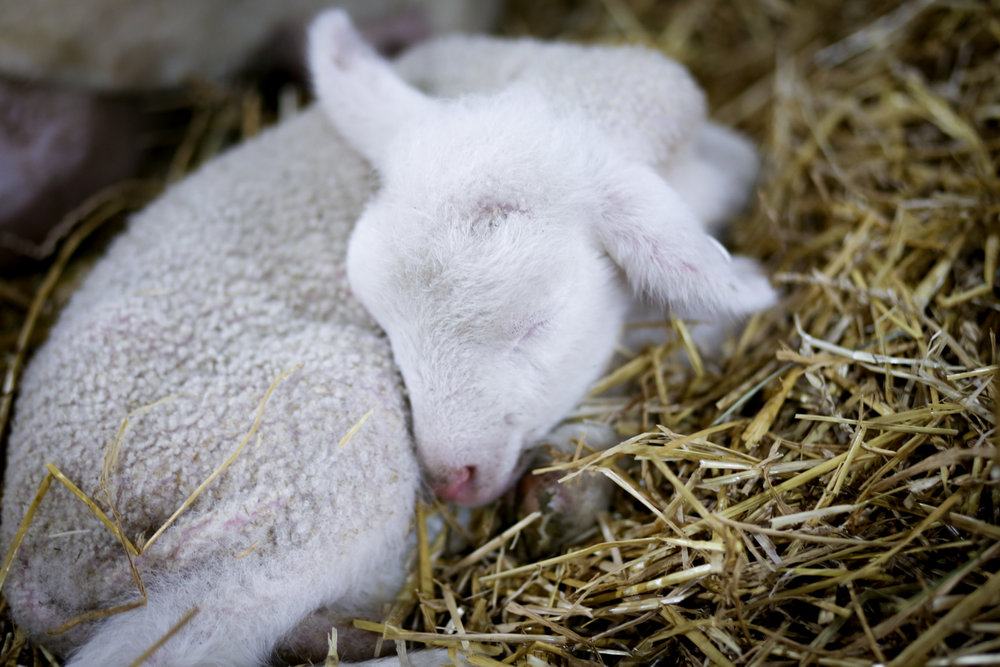 I just want to cuddle with this brand new baby sheep