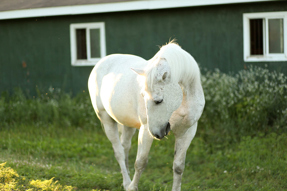 white horse at double H stables in stillwater minnesota