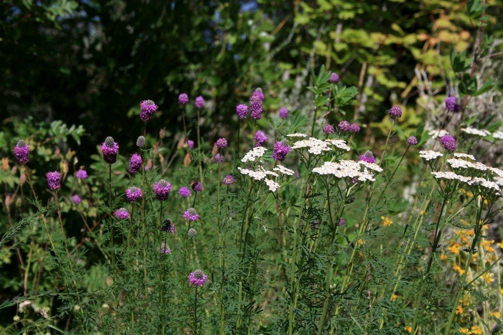 Dalea ornata - purple prairie clover