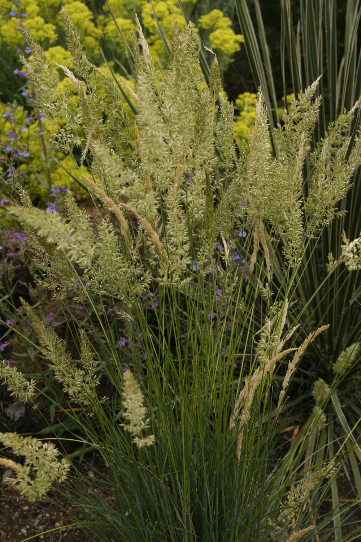 Koeleria macrantha - prairie Junegrass