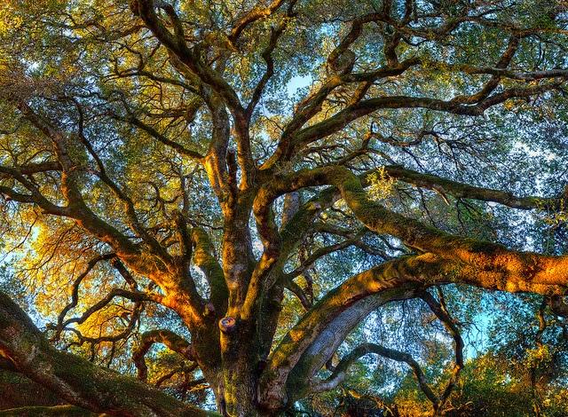 Pech+Merl+oak+tree.jpg