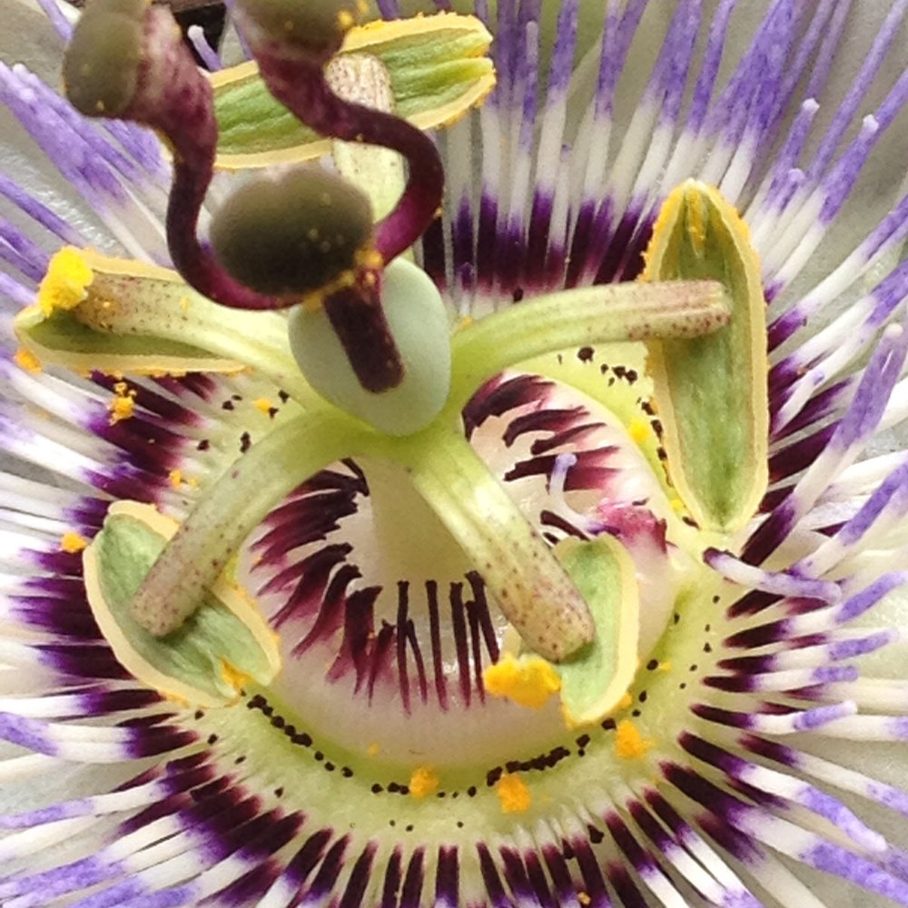 Passiflora Dancer.jpg