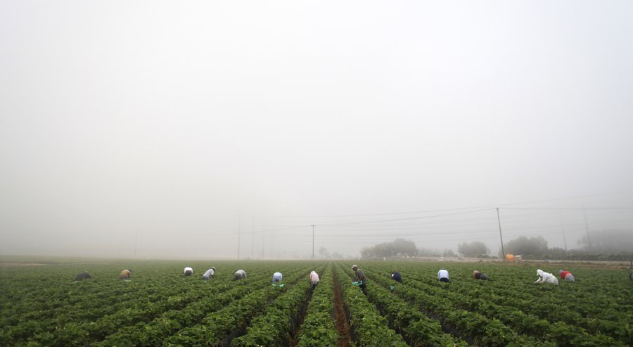 Assembly Bill 20, introduced by Luis Alejo, D-Salinas, could affect up to half a million farmworkers scattered throughout the state. / photo by Misael Virgen * U-T