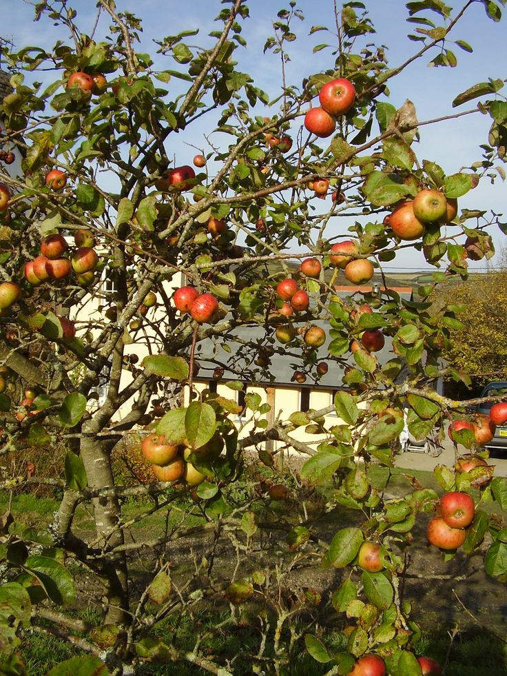 Apples at Welcombe Coastal Barn