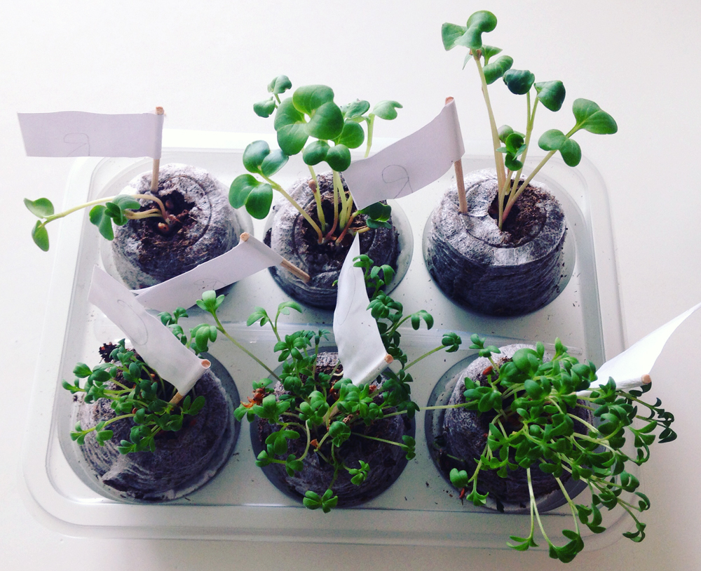 The kids were so proud of their seedlings - this was after just a couple of days