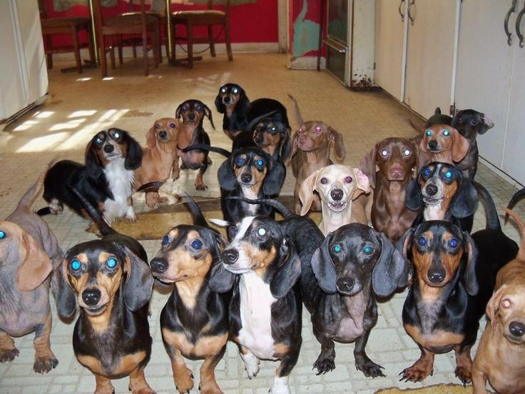 b8ccfc53ead68dec283d147fc1c93a17--weenie-dogs-doggies.jpg