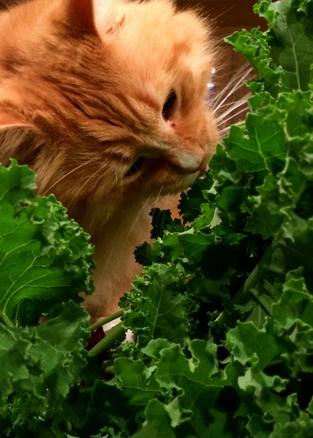 Photo: Tumbles the giant orange rescue cat discovering kale