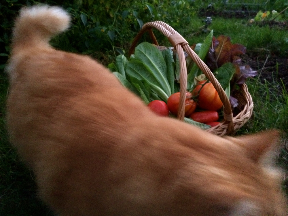 Photo by The Tipsy Tomato. Tumbles, the giant orange rescue cat, circles the evening's harvest
