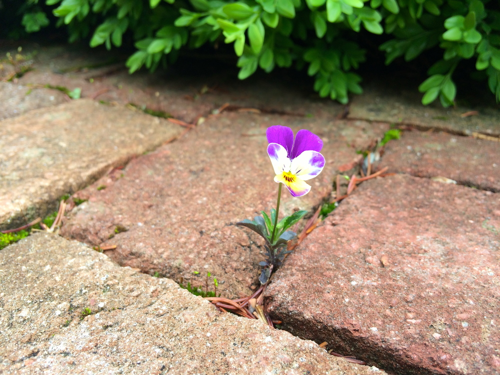 Voles or No Voles:  Last year'spansies, plucked from Home Depot andplopped into the entrance urns, self-sowed across the courtyard.