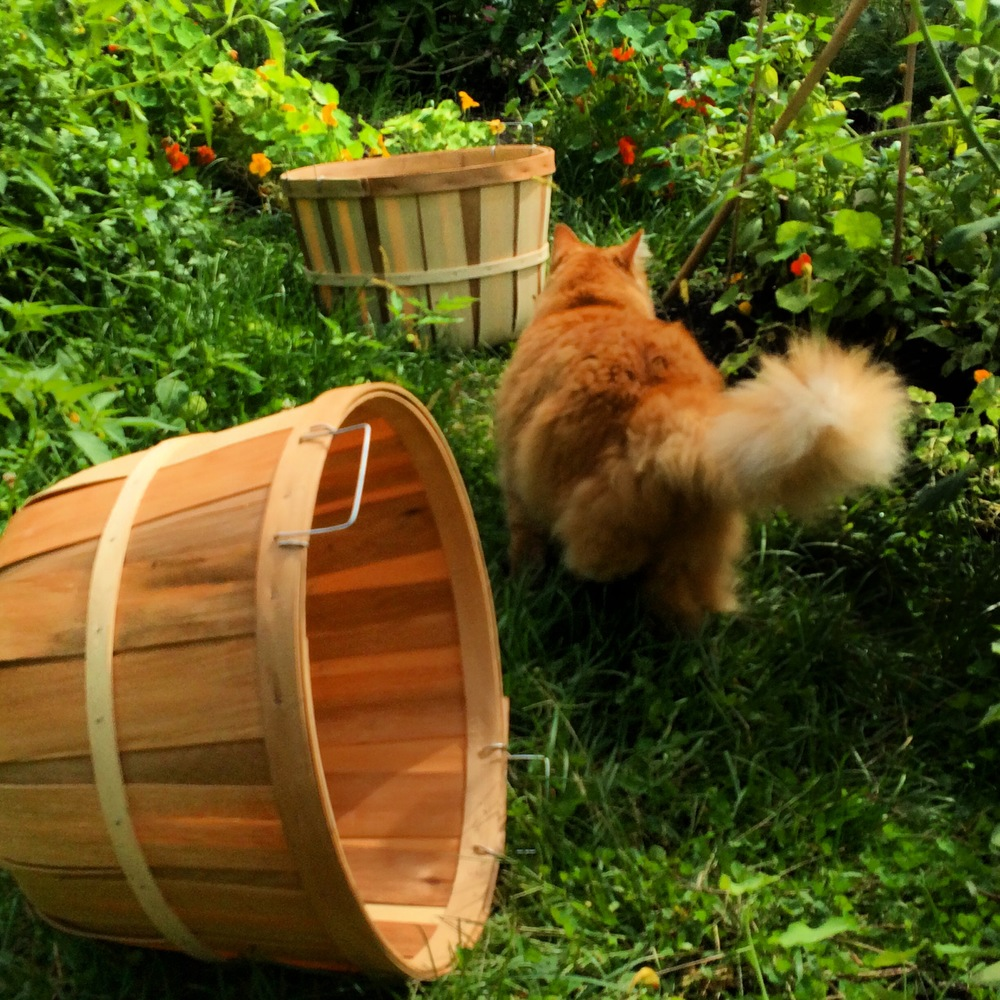 Tumbles    supervises the morning's green-tomato-harvest efforts. More of  Tumbles at INSTAGRAM