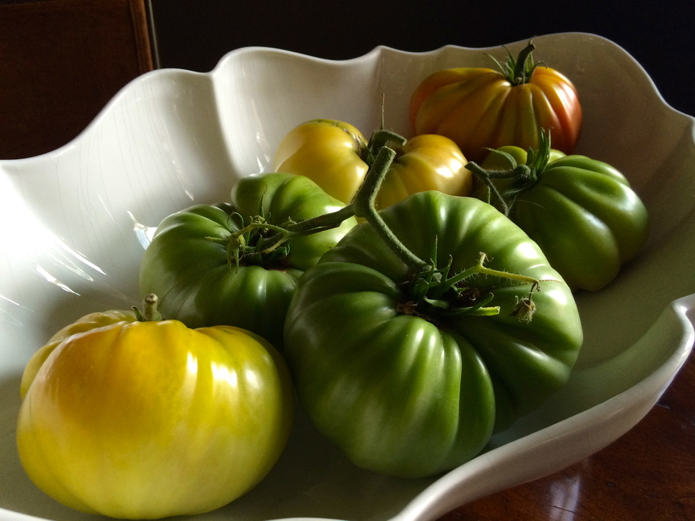 Harvesting green tomatoes. More green pics  here at FB >>
