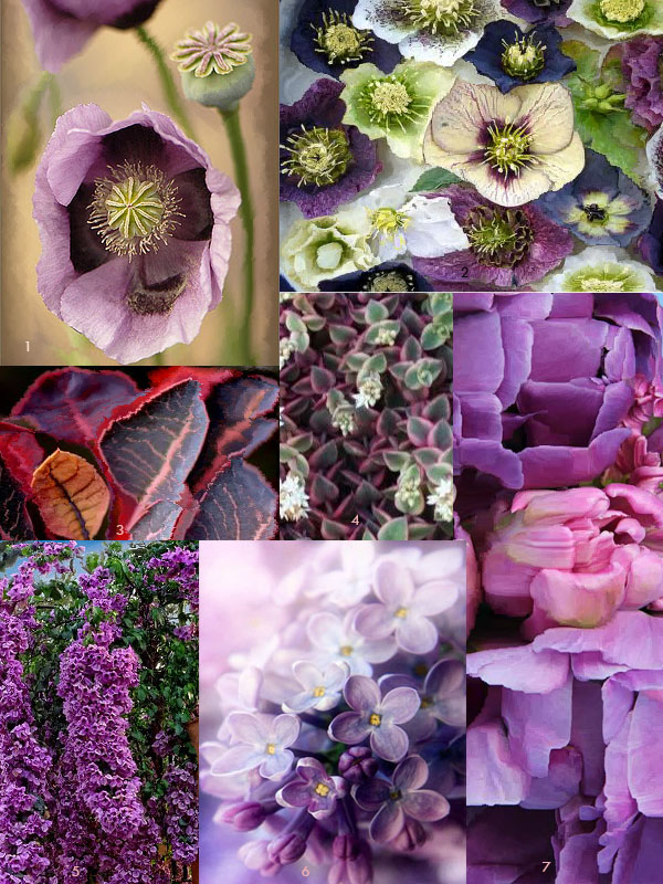 1. Purple Poppy  2. Helebores  3. Smokebush  4. Crassula 'Calico Kitten' Succulent  5. Bougainvillea (there is a lavender thornless variety called 'Silhouette') 6. Lilac  7. Tulips