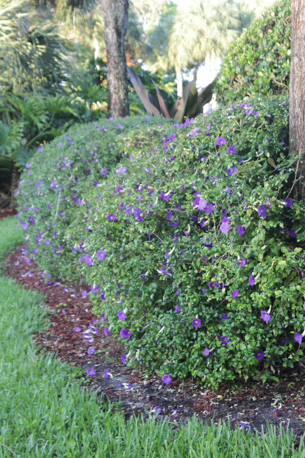 These Bush Clock-vine (Thunbergia Erecta) hedges are mostly green throughout the year, maybe because the landscapers come and shave them into balls when they really have a lovely spreading shrub nature when left alone.   But now are filled with purple tubular flowers...