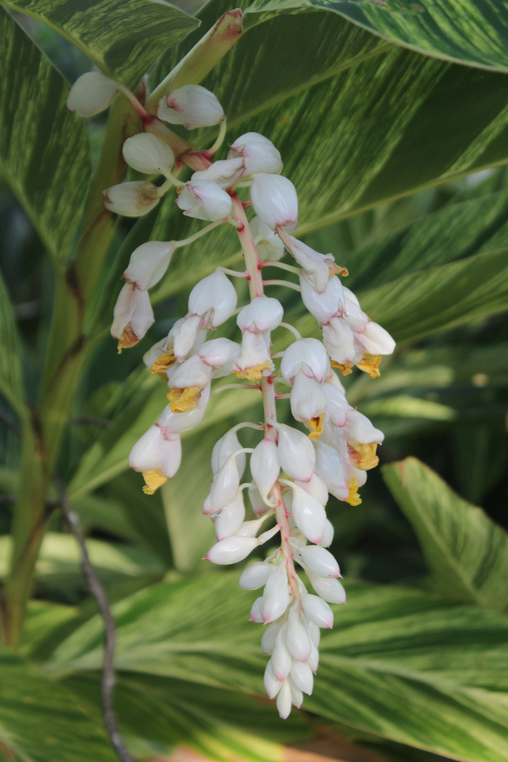 The shell ginger (Alpinia zerumbet) is blooming!