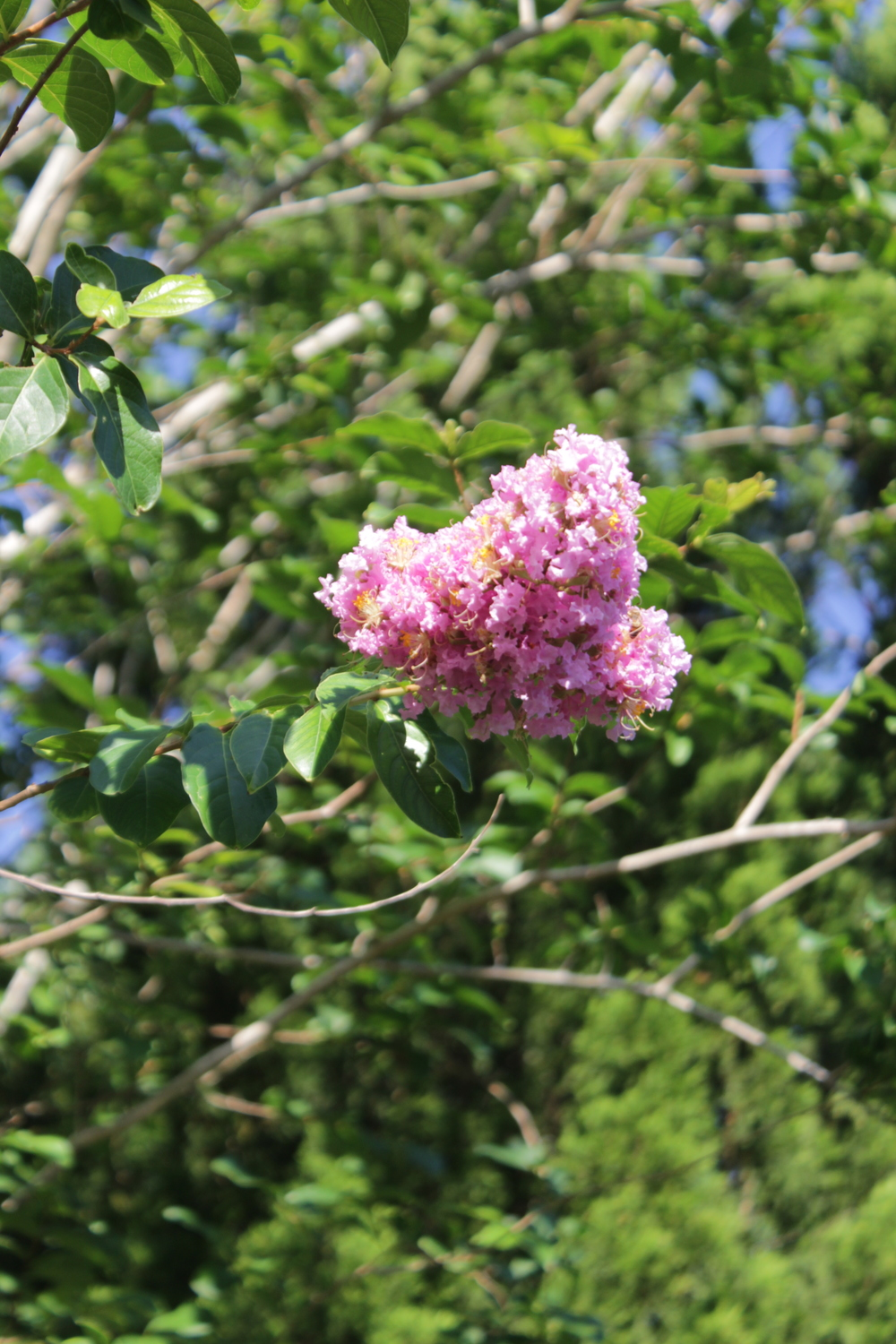 Crepe Myrtles are beginning to bloom.