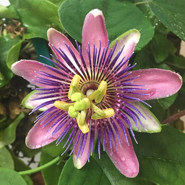 For a little balance from the other side of the country... #passionflower . . . . #Farmerflorist #pnwgardening #pnwgardens #pnwgarden #flowerfarmer #garden #slowflowers #growyourown #seasonalflowers #localflowers #weddingflowers #flowerfarm #fieldtovaseflorist #urbangardening #organicgardening #mygarden #pnwonderland #pnwlife #livewashington
